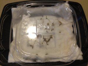 脱脂綿にシロバナタンポポの種子を蒔く