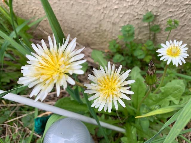 シロバナタンポポ無施肥開花